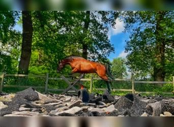 French Trotter, Gelding, 9 years, 15.3 hh, Brown