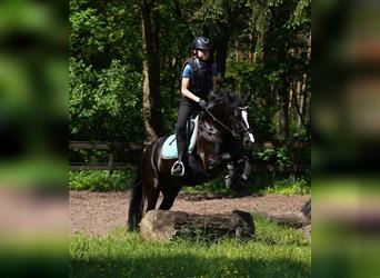 New Forest Pony, Stute, 7 Jahre, 143 cm, Rappe