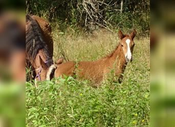 Curly horse, Stallion, 1 year, 14.2 hh, Chestnut-Red