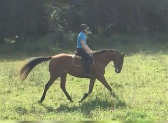Other Thoroughbreds Mix, Mare, 4 years, 16.3 hh, Brown