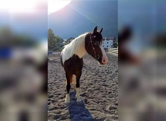 Curly horse, Mare, 3 years, 14.1 hh, Roan-Blue