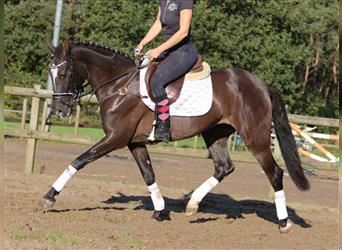 More ponies/small horses Mix, Mare, 4 years, 14.2 hh, Grullo