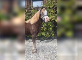 Welsh A (Mountain Pony), Mare, 9 years, 12.1 hh, Roan-Red