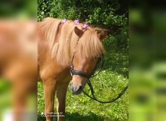 Shetland Ponies, Mare, 4 years, 10.1 hh, Chestnut-Red