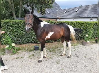 More ponies/small horses, Gelding, 4 years, 14.1 hh, Pinto