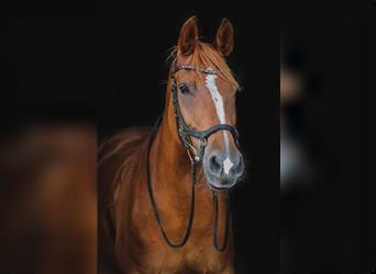 NRPS, Mare, 12 years, 15.3 hh, Chestnut-Red
