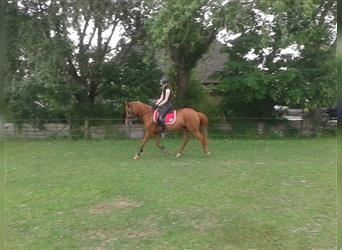 NRPS, Mare, 25 years, 14.1 hh, Chestnut-Red