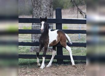 Gypsy Horse, Mare, Foal (07/2021), Tobiano-all-colors