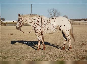 Pony of the Americas, Mare, 6 years, 14.2 hh