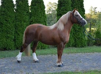 Polish Coldblood, Mare, 7 years, 14.3 hh, Chestnut-Red