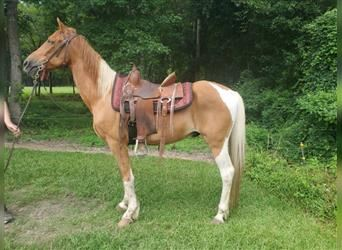 Spotted Saddle Horse, Gelding, 16 years, 14.3 hh