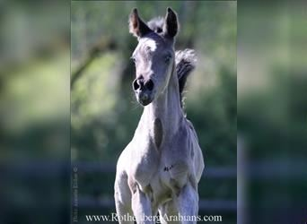 Straight Egyptian, Mare, Foal (03/2021), 15.1 hh, Black