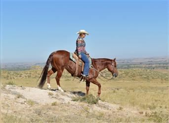 American Quarter Horse, Gelding, 8 years, 14.1 hh, Roan-Red