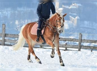 Haflinger, Mare, 10 years, 15 hh, Chestnut-Red