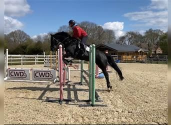 Anglo European Studbook, Mare, 6 years, 16 hh, Black