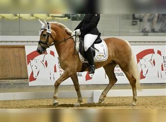 Haflinger, Mare, 5 years, 15.1 hh, Chestnut-Red