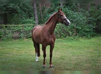 Wuerttemberg, Mare, 11 years, 16.1 hh, Chestnut-Red