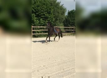 KWPN, Mare, 6 years, 16 hh, Smoky-Black