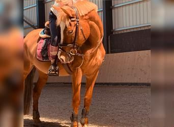 New Forest Pony, Mare, 8 years, 14.1 hh, Chestnut-Red
