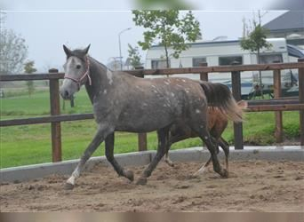 Other Breeds, Mare, 5 years, 15 hh, Brown Falb mold