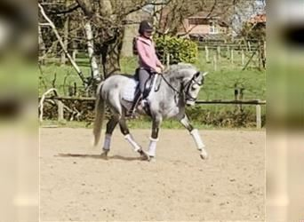 Andalusian, Gelding, 6 years, 15.2 hh, Gray