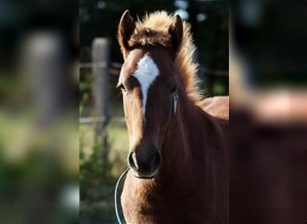 More ponies/small horses, Stallion, Foal (04/2021), 14.1 hh, Chestnut-Red