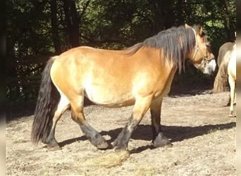 Ardennes, Mare, 4 years, 14.2 hh, Brown-Light