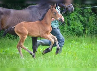 French riding pony, Mare, Foal (05/2021), 14.1 hh, Brown