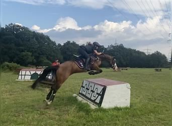German Riding Pony, Mare, 6 years, 14.2 hh, Brown