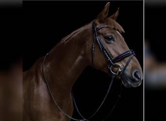 Hessian Warmblood, Mare, 16 years, 15.2 hh, Chestnut-Red