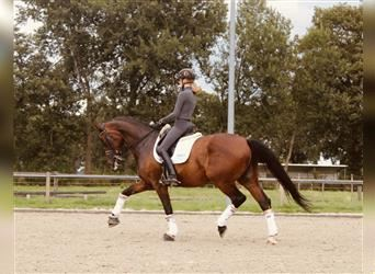 Russian Saddle Horse, Gelding, 10 years, 17 hh, Brown