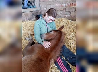 German Riding Pony, Mare, Foal (02/2021), Chestnut-Red