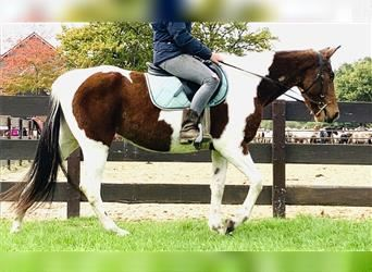 More ponies/small horses, Mare, 5 years, 14.1 hh, Pinto