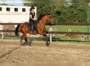 Other Breeds, Mare, 11 years, 15.2 hh, Brown-Light