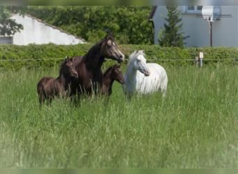 Pony of the Americas, Hengst, 1 Jahr