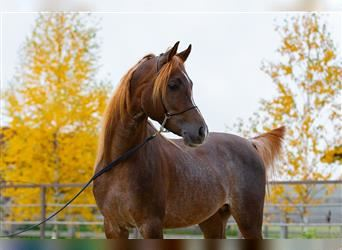 Straight Egyptian, Stallion, 4 years, 14.2 hh, Roan-Red