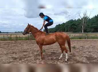 English Thoroughbred, Mare, 4 years, 16 hh, Chestnut-Red