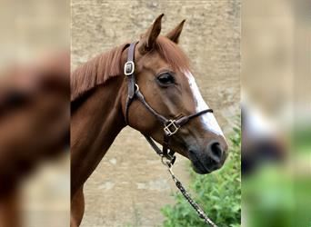 German Sport Horse, Mare, 5 years, 16.1 hh, Chestnut-Red