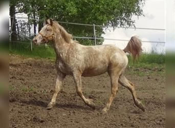 Mustang (american), Mare, 3 years, 14.2 hh, Leopard-Piebald