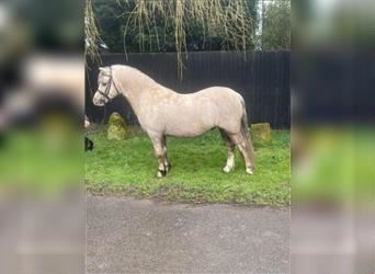 Welsh A (Mountain Pony), Gelding, 5 years, 12.1 hh, Palomino