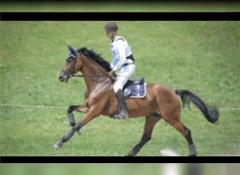 Wuerttemberg, Mare, 9 years, 16.3 hh, Brown