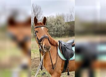 Hungarian Sport Horse, Gelding, 3 years, 16 hh, Chestnut-Red