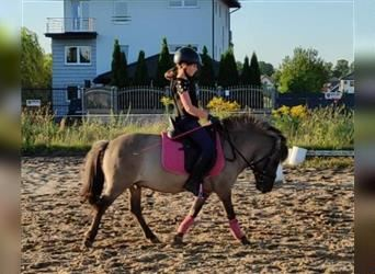 More ponies/small horses, Gelding, 5 years, 11.1 hh, Grullo