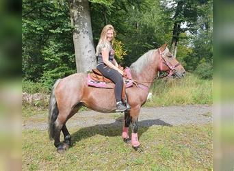 Other Breeds, Mare, 10 years, 14.2 hh, Gray-Red-Tan