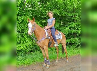Paint Horse Mix, Mare, 5 years, 15.1 hh, Overo-all-colors