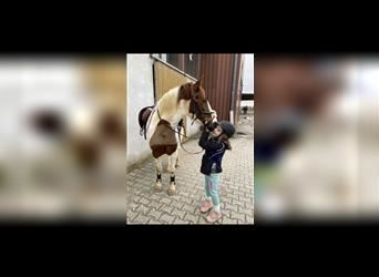 Belgian Riding Pony, Mare, 7 years, 14.2 hh, Pinto