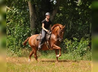 Andalusian, Gelding, 12 years, 15.1 hh, Chestnut-Red