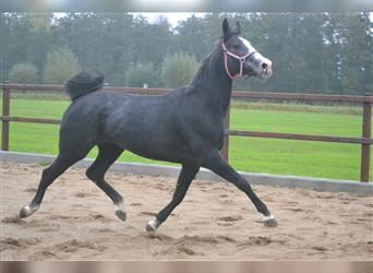 Other Breeds, Mare, 2 years, 15.1 hh, Brown Falb mold