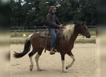 Curly horse, Mare, 7 years, 15.2 hh, Bay