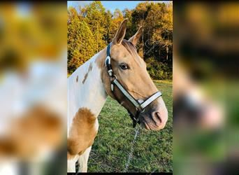 Spotted Saddle Horse, Stute, 9 Jahre, 147 cm, Tobiano-alle-Farben